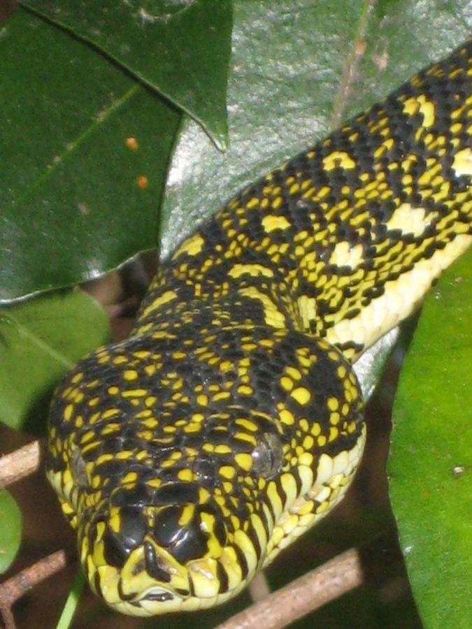 diamond python in suburban tree