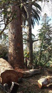 deadwood cut by priority trees