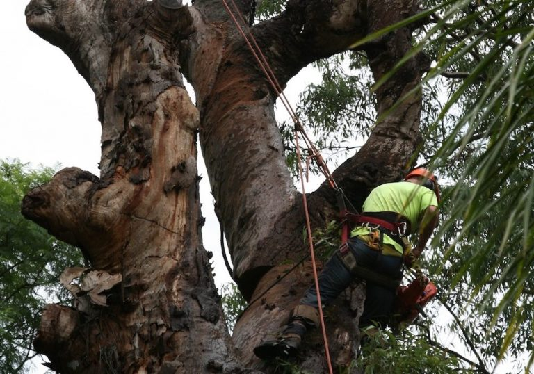 fruit tree pruning conducted by priority tree