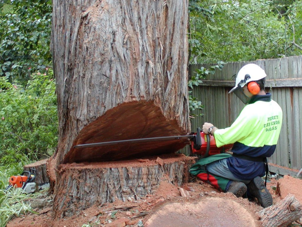 large tree removal using a chainsaw by a man in safety vest with helmet by priority trees