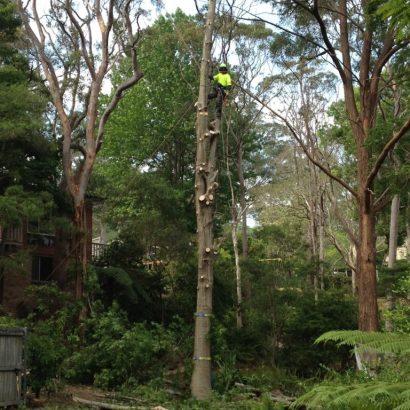 priority trees tree measuring