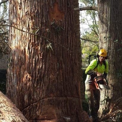 tree felling by a man using a chainsaw