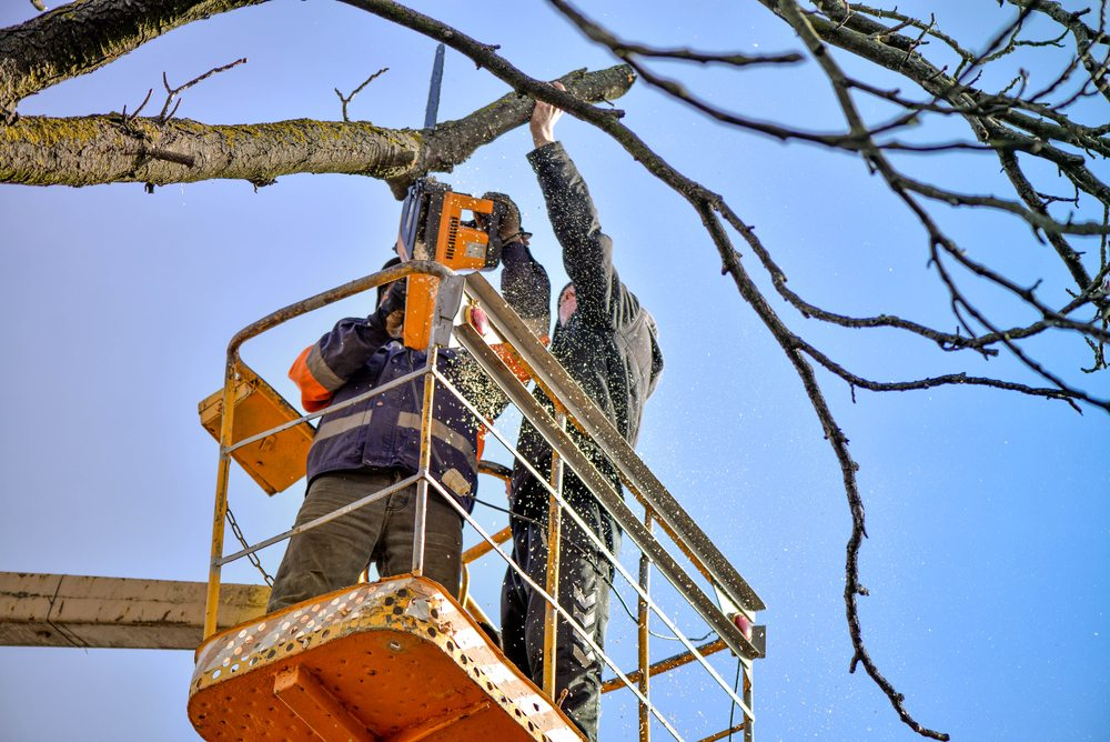 two mans was cutting an old dying tree