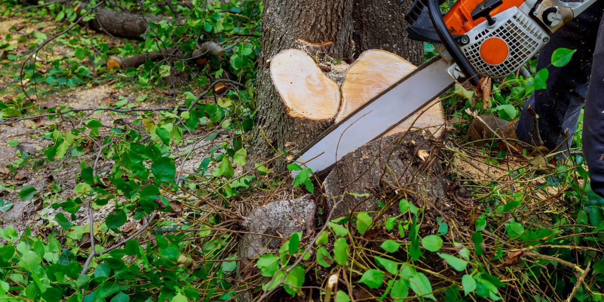deadwood cutting using a chainsaw conducted by priority trees